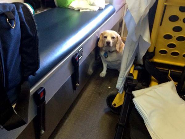 墨西哥小狗陪伴主人乘救护车去医院(图)