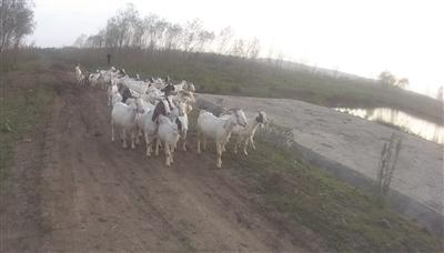 """村民52只羊被盗 警察让羊羔""""喝奶认"""