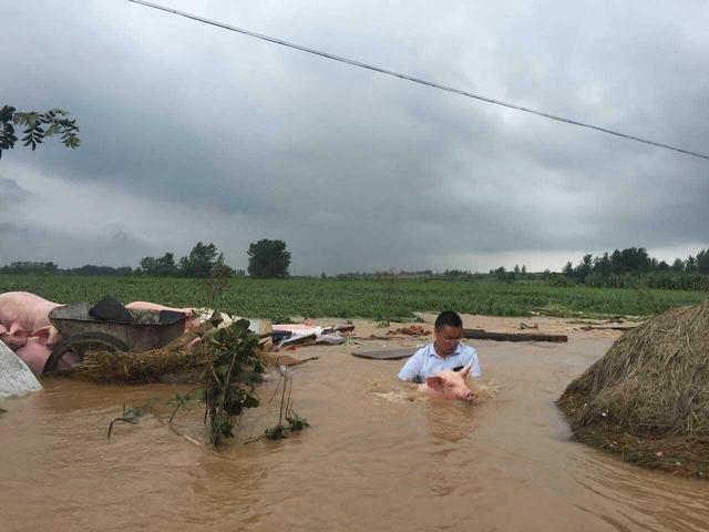 洪水猪,洪水猪去哪儿了,洪水猪调查,洪水猪流入市场
