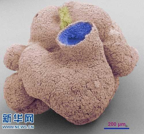 具有与现代海绵动物相似的表皮细胞和领细胞结构,其表面细胞之间还