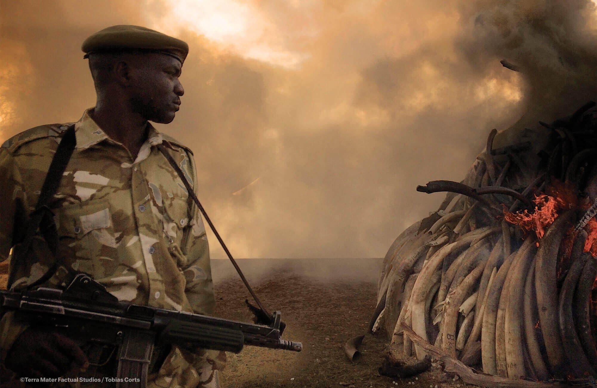 肯尼亚销毁象牙储备现场。