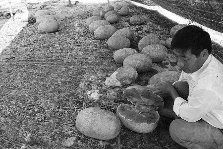 河南商丘一棵瓜秧结62个西瓜 最大的重15公斤