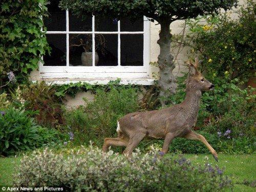 小鹿逃过花园