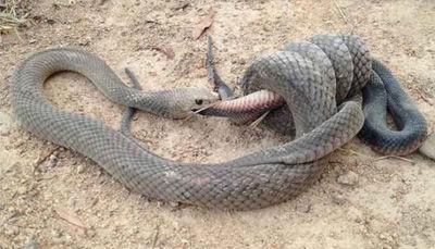 澳洲两蛇街头对决:棕蛇缠住并吞下黑蛇(图)