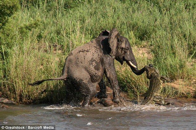 大象喝水时被鳄鱼咬住鼻子 - 海阔山遥 - .