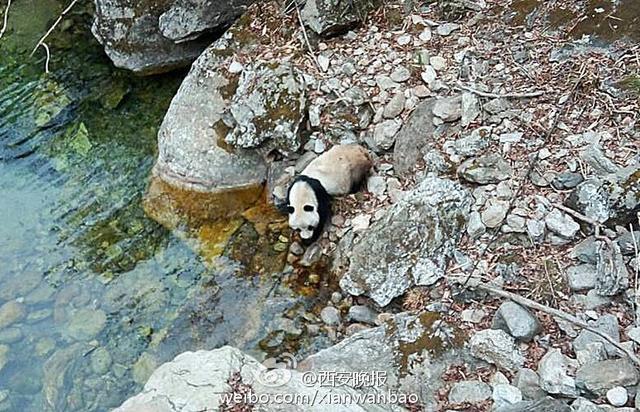 正在河边喝水的大熊猫。图片由何义军提供