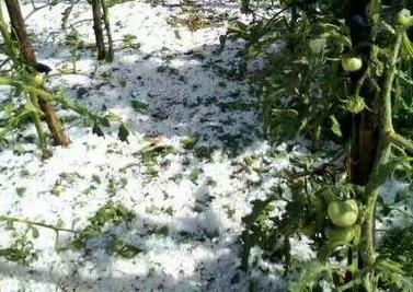 陕西榆林遭冰雹 农作物被砸一片狼藉