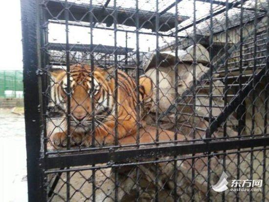 图为上海动物园养殖场中的老虎