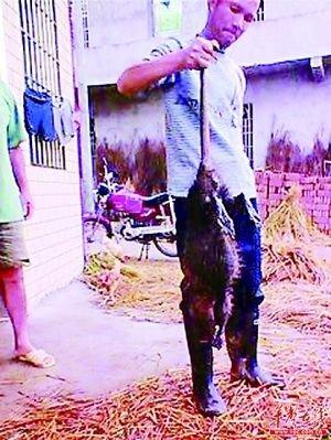 9月25日邵阳县五峰铺镇冷水村扬子江组村民打死一只特大老鼠王。老鼠体长90厘米,重达5.1公斤。