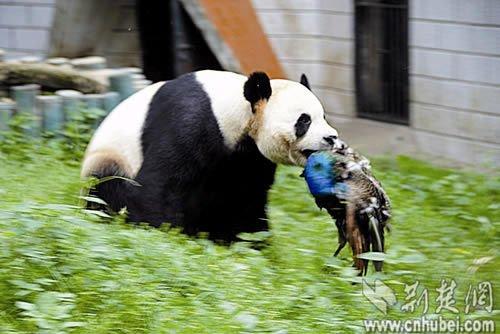 武汉动物园一大熊猫将觅食蓝孔雀咬死(图)