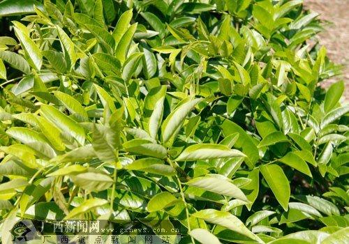 """东南亚名贵树种博览园:十万名树成扶绥""""绿肺"""""""