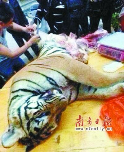广东雷州10只老虎先后遭屠杀 虎骨7000元1斤(图)