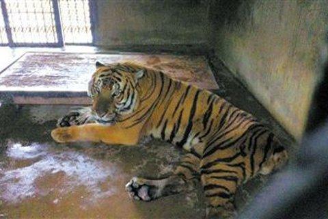 上海动物园繁殖场,咬死饲养员的华南虎莹莹.网络图片