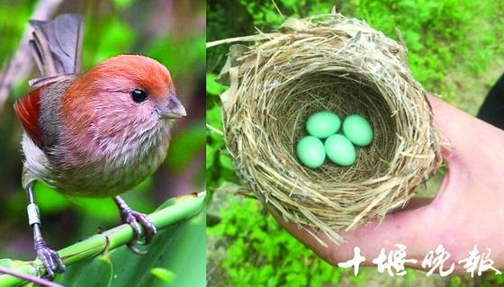 湖北现神奇绿色鸟蛋 大如鹌鹑蛋形似绿松石(图)