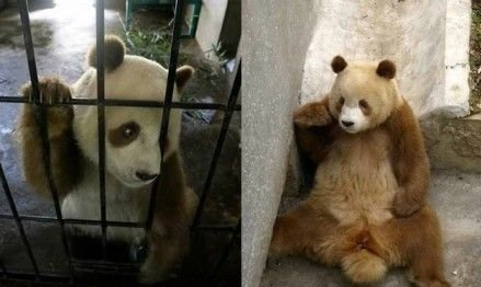 陕西现罕见棕色大熊猫 网友称终于告别黑白照