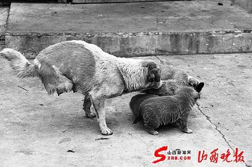 学会两条腿站立走路还成了4只狗的妈妈(图)图片