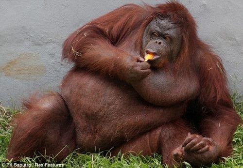 天气太炎热 印尼猩猩向游人讨要冰棍解暑