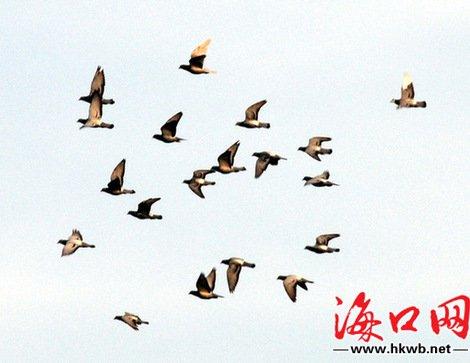 征服海南大海的信鸽