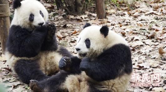 大熊猫食量有多大?两只一天吃150斤春笋还没完