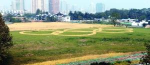 超万平米稻田现身南京主城 拼出奥运五环标志_新闻_百辉网