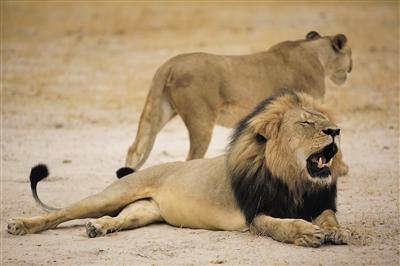"""美国牙医猎杀非洲""""狮王""""遭通缉 自辩狩猎合法"""