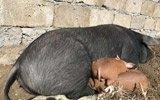 山村一农民家猪失踪多日 回来后竟……