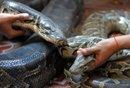 柬埔寨为蟒蛇举行婚礼