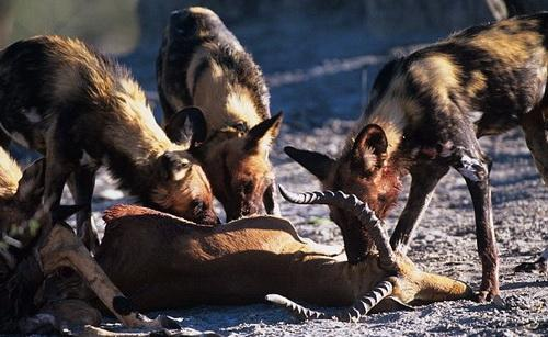 南非野狗咬住角马鼻子 将其拖走吃掉(组图)