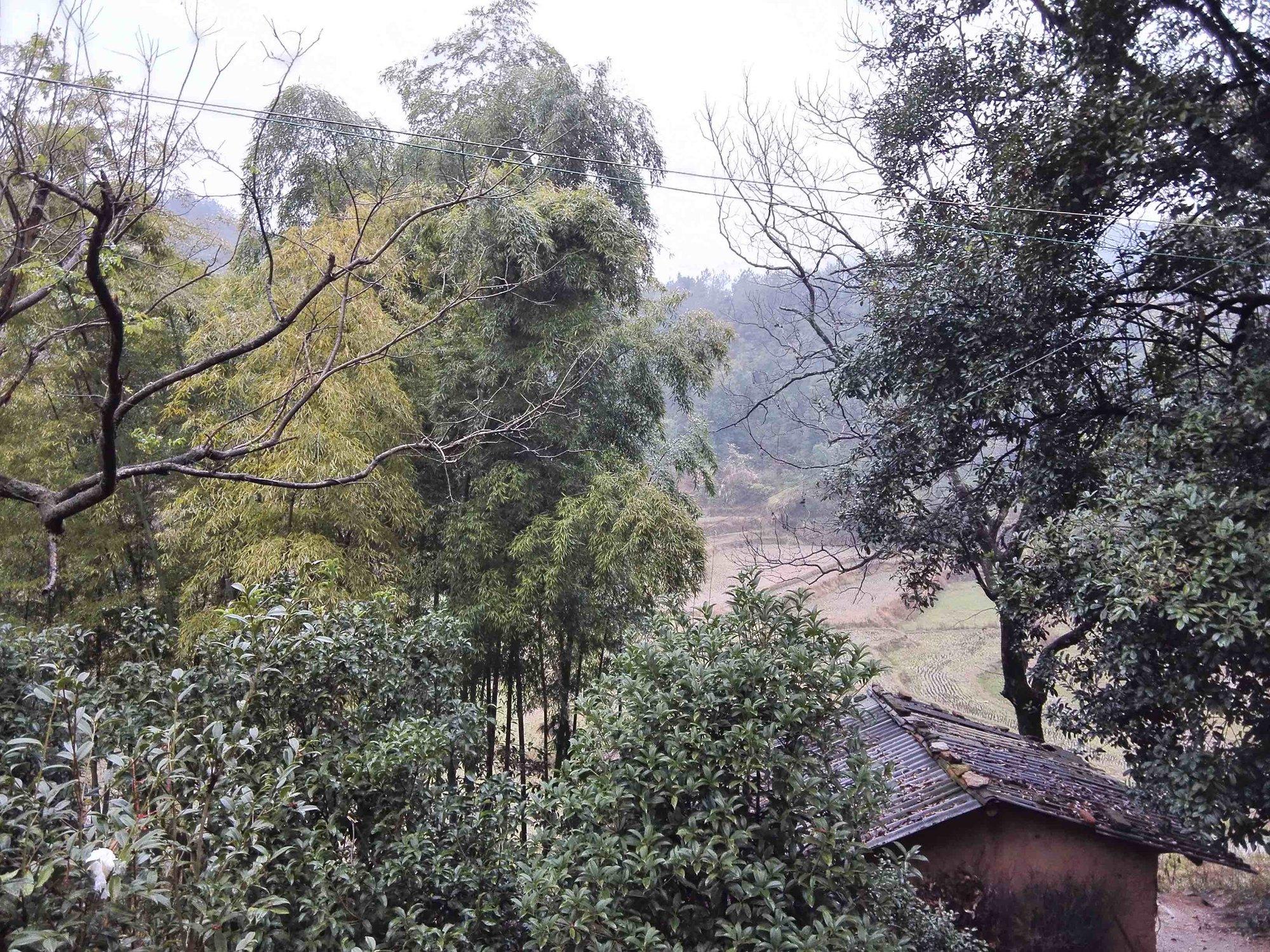 家门口的毛竹林