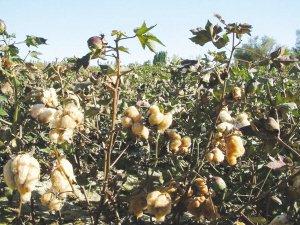 新疆彩色棉花实现大面积种植