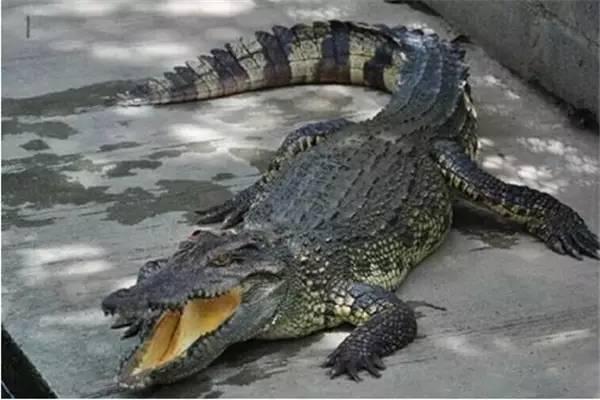 安徽被大水冲走的鳄鱼被不法分子下锅煮了