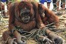 印尼猩猩闯村庄遭虐待
