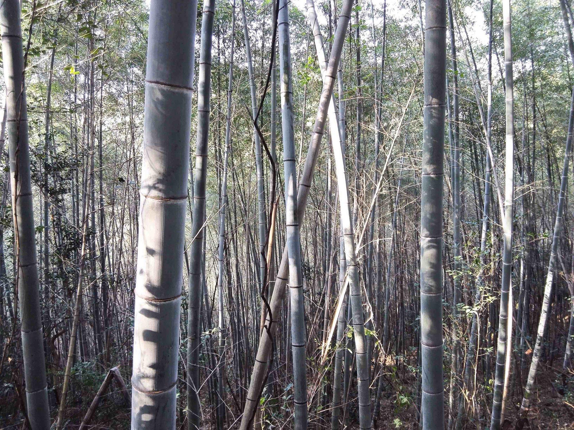 随处可见的竹林