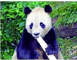 中国旅日大熊猫猝死 疑为麻醉剂过量(图)