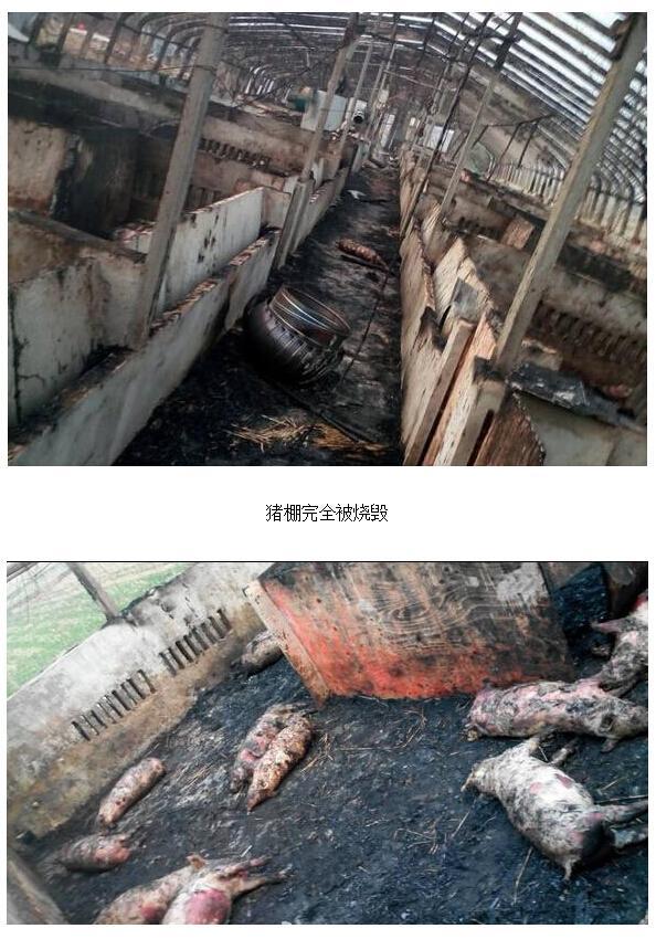 回音壁:过年放炮崩死300头猪,心塞