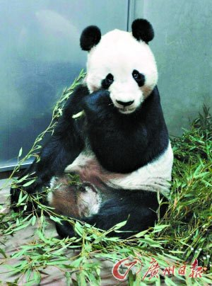 2002年12月9日,中国赠给日本的大熊猫龙龙(后改名兴兴)抵达神户。CFP