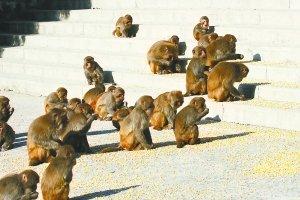 北京一景区60多只猕猴下山找食 场面壮观(图)