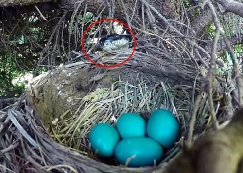 残酷大自然:母鸟离巢 蛇趁机吞掉整窝鸟蛋(组图)