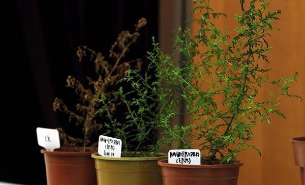 屠呦呦研究进展:青蒿中有除青蒿素外其他抗疟成分