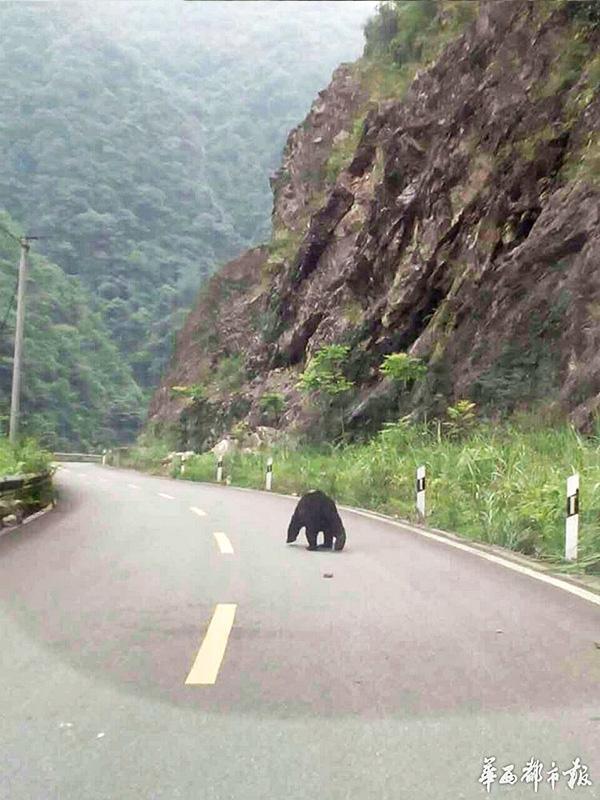 10位村民在公路上邂逅成年黑熊 最近距离仅6米