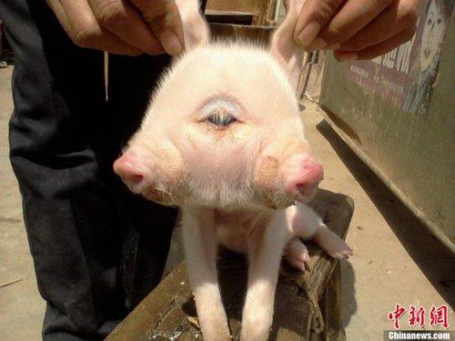 """母猪产下罕见""""双头小猪"""" 长三只眼(图)"""