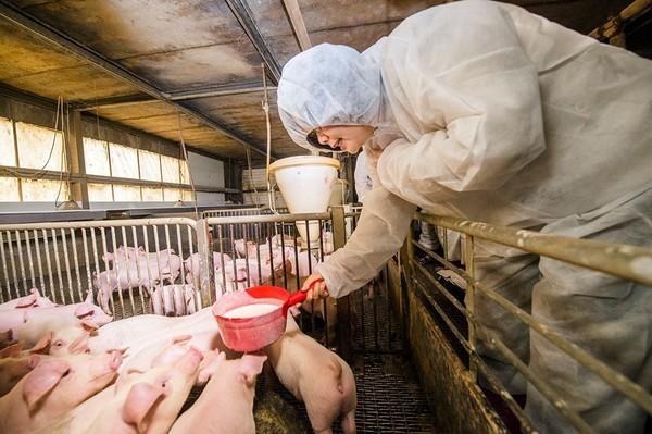"""蔡英文亲手喂的""""快乐猪""""将被宰 成其就职晚宴菜"""