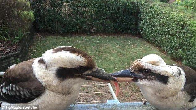 【图片新闻】两只笑翠鸟为争食物嘴对嘴 僵持数小时 - 耄耋顽童 - 耄耋顽童博客 欢迎光临指导