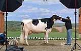 德国举办奶牛选美比赛 200头牛登台展魅力