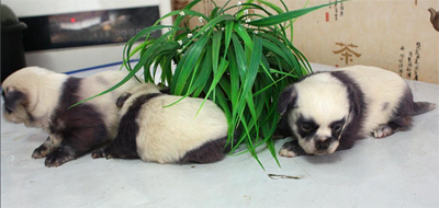 乍一看,以为是呆萌熊猫,其实他们是货真价实的