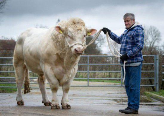 英公牛睾丸长达45厘米精液遭疯抢 月赚800万