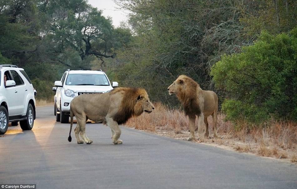 南非狮子羚羊在公路上厮杀 距游客仅1米 - 海阔山遥 - .