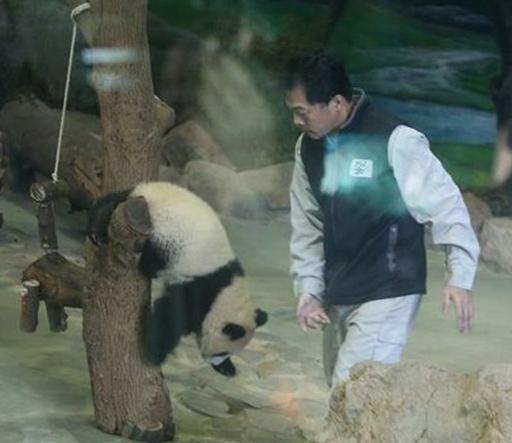 """""""圆仔""""一脸不想上班的样子,被抱上栖架后,想跟着保育员离去。来自台媒。 转自中国台湾网"""