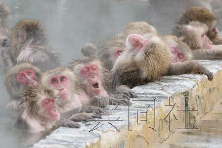 北海道群猴享受温泉 泡温泉过多致体毛脱落