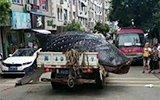 货车运鲸鲨送酒店遭拒 在路边用锯子切割